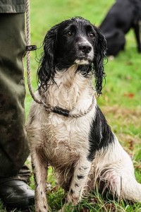 Gundog training Kent James Reavil