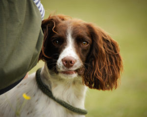 springer spaniel Gundog kent sussex surrey