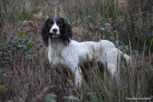 Spaniel Gundog training