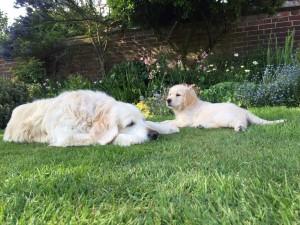 Gundog training, puppy training, behaviour modification in dogs, Kent