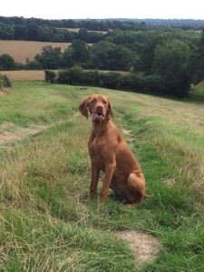 Puppy to novice class, Gundog training