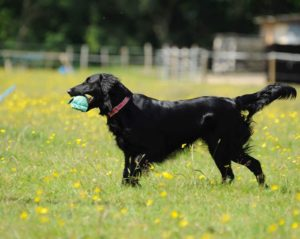 flatboat retriever Gundog